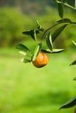 Amadureça a laranja suculenta no ramo Imagem de Stock Royalty Free