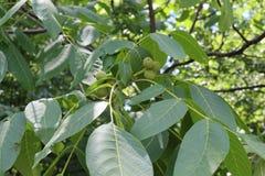 Amadureça nozes em uma árvore No outono serão apropriados para o alimento Foto de Stock