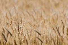 Amadureça o campo de trigo Fotos de Stock