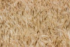Amadureça o campo de trigo foto de stock