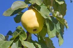 Amadureça o marmelo maduro em um ramo em um jardim Fotos de Stock