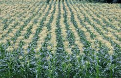 Amadurecendo o milho que vai semear fotografia de stock