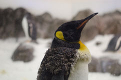 Amadurecendo o pinguim de imperador adolescente Imagens de Stock Royalty Free