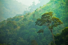 Amaing stort träd i grön mest forrest, Thailand. Royaltyfria Bilder