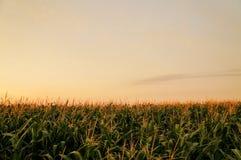 Amaize Fields Stock Image