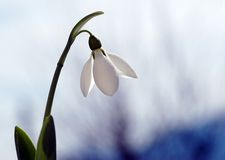 Amaizing snowdrop Stock Photos