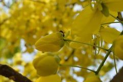 Amaltas flower. Summer flower sonajhuri named by rabindranath tagore Royalty Free Stock Photography