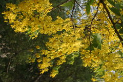 amaltas  summer yellow flowers India Royalty Free Stock Photography