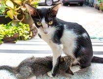 Amamantamiento del gato Foto de archivo libre de regalías