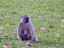 Amamantamiento del mono de Vervet Foto de archivo libre de regalías
