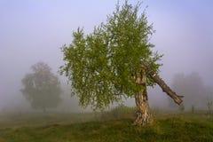 Łamana brzoza w mgle Zdjęcia Royalty Free