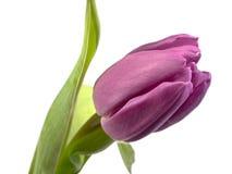 amana Honda tulipanu tulipa Zdjęcie Royalty Free