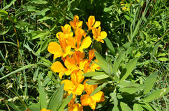 Amancay gulingblomma mot grön bakgrund Royaltyfri Foto