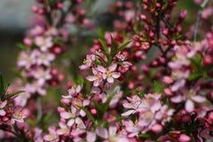 Amande de floraison Photo libre de droits