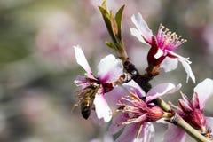 Amande de floraison Photographie stock