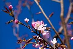 Amande en fleur Photos stock
