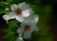 Amande en fleur Photographie stock