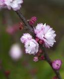 Amande fleurissante Photographie stock libre de droits