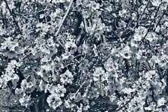 Amande fleurissante Images stock