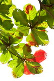 Amande indienne en automne Image stock