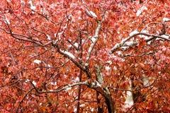 Amande rouge neigée Photo stock