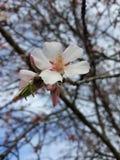 Amandel lat De bloem van Prunusdulcis royalty-vrije stock afbeelding