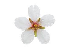 Amandel witte die bloem met dalingen van dauw op witte backgrou worden geïsoleerd royalty-vrije stock afbeelding