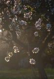 Amandelbloemen in achterlicht. royalty-vrije stock foto