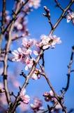 Amandelbloemen met bij Royalty-vrije Stock Afbeeldingen