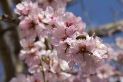 Amandelbloesem in de lente in Bulgarije royalty-vrije stock foto's