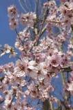Amandelbloesem in de lente in Bulgarije stock foto
