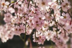 Amandelbloesem in de lente in Bulgarije royalty-vrije stock afbeelding