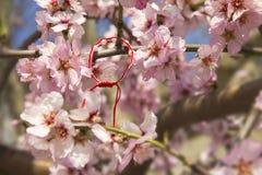 Amandelbloesem in de lente in Bulgarije stock foto's