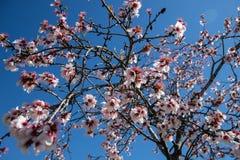 Amandelbloesems in de lente met blauwe achtergrond royalty-vrije stock afbeeldingen