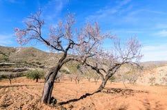 Amandelbomen in de werf Royalty-vrije Stock Foto's