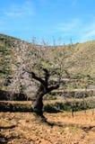 Amandelbomen in de werf Stock Foto