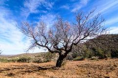 Amandelbomen in de werf Stock Foto's