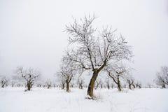 Amandelbomen in de winter Stock Fotografie