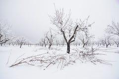 Amandelbomen in de winter Royalty-vrije Stock Fotografie