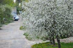 Amandelbomen die in boomgaard tegen blauw bloeien, de Lentehemel De bomen zijn bloeiend royalty-vrije stock foto's