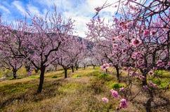 Amandelbomen in een landbouwbedrijf Stock Fotografie