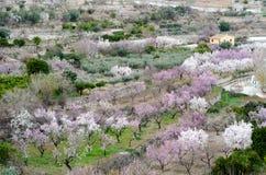 Amandelbomen in het landbouwbedrijf Royalty-vrije Stock Fotografie