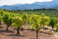 Amandelbomen in Ports DE Besseit Stock Afbeeldingen