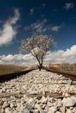 Amandelboom in bloem die sommige oude spoorwegsporen bezetten stock foto