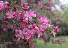 Amandelboom in een tuin royalty-vrije stock afbeeldingen