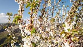 Amandelboom het bloeien stock videobeelden