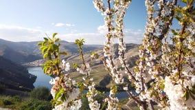 Amandelboom het bloeien stock footage