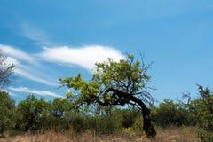 Amandelboom tegen de blauwe hemel en de wolken Royalty-vrije Stock Fotografie