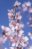 Amandelboom in volledige bloei Royalty-vrije Stock Foto's