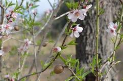 Amandelen en amandelbloemen Stock Foto's